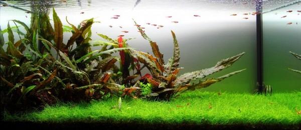 lepistes-akvaryumu-bitki-1.jpg