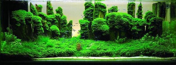lepistes-akvaryumu-bitki.jpg